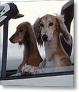 Saluki Dogs In Car Metal Print