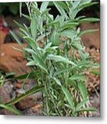 Salvia Officinalis Sage Metal Print