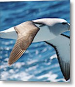 Salvins Albatross Metal Print