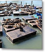 San Francisco Pier 39 Sea Lions 5d26115 Metal Print by Wingsdomain Art and Photography