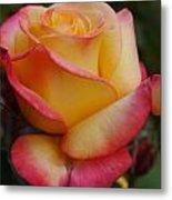 San Francisco Rose Garden Rose Metal Print
