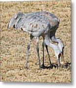 Sand Hill Cranes Eat Togeather Metal Print