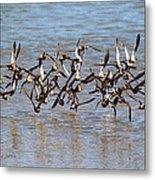 Sand Pipers Arrive At The Grp Metal Print