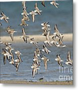 Sanderlings And Dunlins In Flight Metal Print