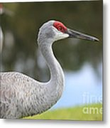 Sandhill And Friend Metal Print