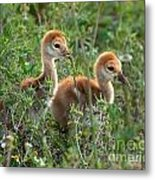 Sandhill Chicks Metal Print
