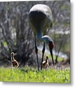 Sandhill Chicks Under Foot Metal Print