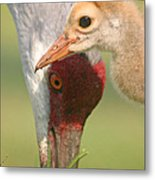 Sandhill Crane And Chick Metal Print