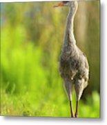 Sandhill Crane Chick, Grus Canadensis Metal Print