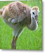 Sandhill Crane Chick I Metal Print
