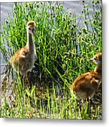 Sandhill Crane Chicks  Metal Print