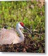 Sandhill Crane On Nest After Sunset Metal Print