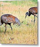Sandhill Cranes Ll Metal Print