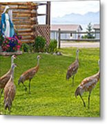 Sandhill Cranes On The Lawn By The Statue Of Mary In Homer-alaska Metal Print