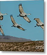 Sandhill Cranes Over Chupadera Mountains Metal Print