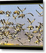 Sandhill Cranes Startled 2 Metal Print