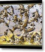 Sandhill Cranes Startled Metal Print