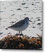Sandpiper And Seaweed Metal Print