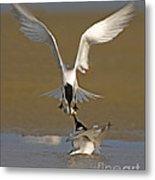 Sandwich Tern Bringing Fish To Its Mate Metal Print