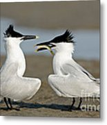Sandwich Tern Offering Fish Metal Print