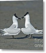 Sandwich Terns Metal Print