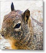 Sandy Nose Squirrel Metal Print