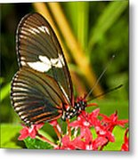 Sapho Longwing Butterfly Metal Print