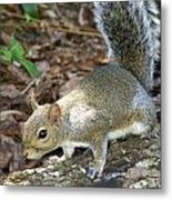 Scampering Squirrel Metal Print