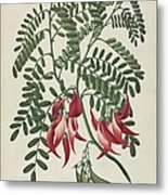 Scarlet Clianthus (clianthus Puniceus) Metal Print by Science Photo Library