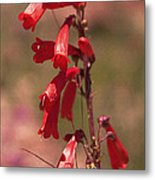Scarlet Colorado Penstemons Metal Print