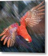 Scarlet Macaw Flying Amazon Basin Peru Metal Print