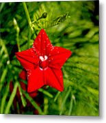 Scarlet Morning Glory - Horizontal Metal Print