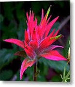 Scarlet Paintbrush On Swiftcurrent Pass Trail In Glacier National Park-montana Metal Print