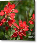 Scarlet Paintbrush. Texas Wildflowers. Castilleja_indivisa Metal Print