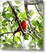 Scarlet Tanager - 11 Metal Print