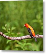 Scarlet Tanager On Snag Metal Print