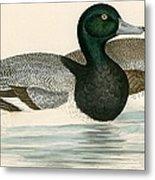 Scaup Duck Metal Print