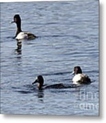 Scaup Ducks In The Spring Metal Print