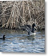 Scaup Show Off Metal Print