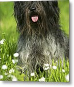 Schapendoes, Or Dutch Sheepdog Metal Print