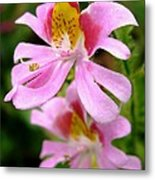 Schizanthus Named Angel Wings Metal Print