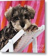 Schnauzer Puppy Looking Over Top Metal Print