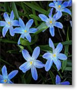 Scilla Flowers In The Morning Metal Print