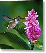 Scintillant Hummingbird Selasphorus Metal Print