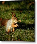 Sciurus Vulgaris In Evening Light Metal Print