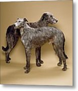 Scottish Deerhounds, Stuffed Specimens Metal Print by Science Photo Library