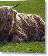 Scottish Highland Cattle 3                          Metal Print