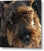 Scottish Terrier Closeup Metal Print