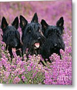 Scottish Terrier Dogs Metal Print