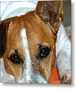 Scrappy The Jack Russell Metal Print